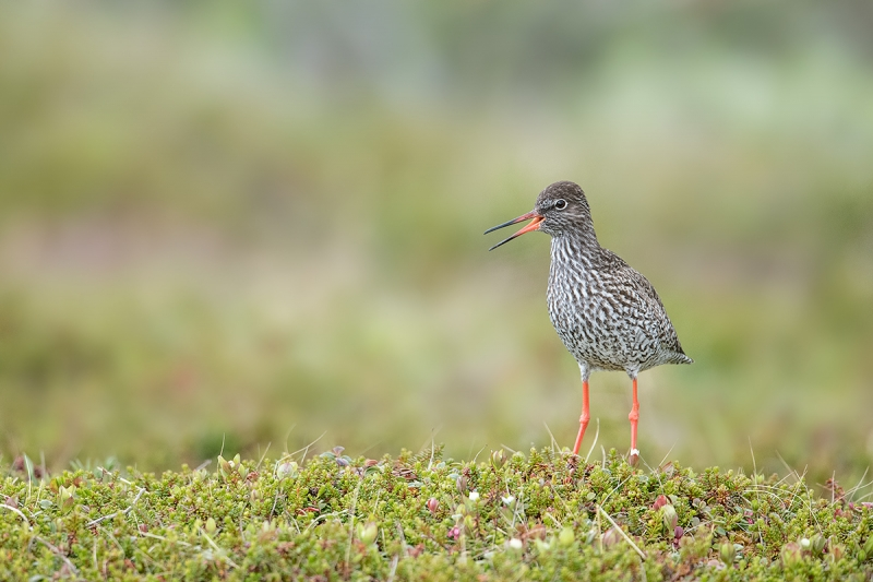 Redshank-calling-on-tundra-_MAI7198--Vadso,-Norway