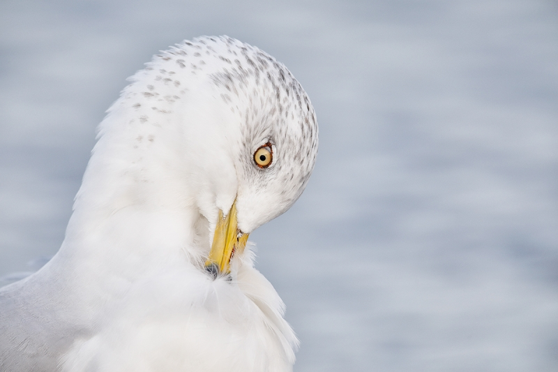Ring-billed-Gull-preening-neck-LAYERS-_W5A0212-Heckscher-State-Park,-Long-Island,-NY