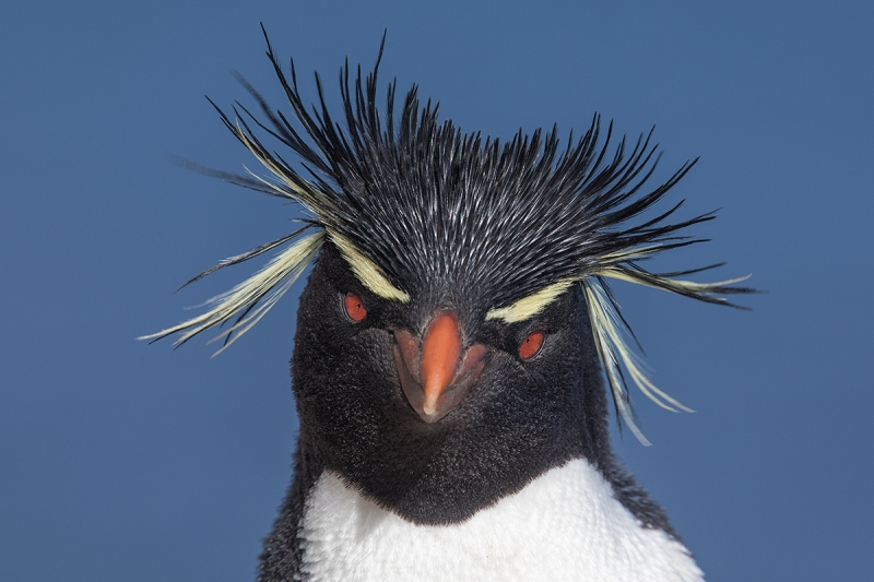 Rockhopper-Penguin-head-portrait-_W5A9223--The-Rookery,-Saunders-I.,-Falklands