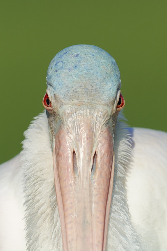 Roseate-Spoonbill-with-ruff-2-X-3-_7R46802-Fort-DeSoto-Park-FL-3