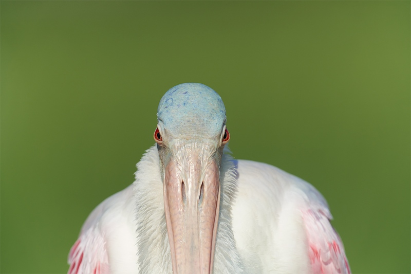Roseate-Spoonbill-with-ruff-full-frame-_7R46802-Fort-DeSoto-Park-FL-3