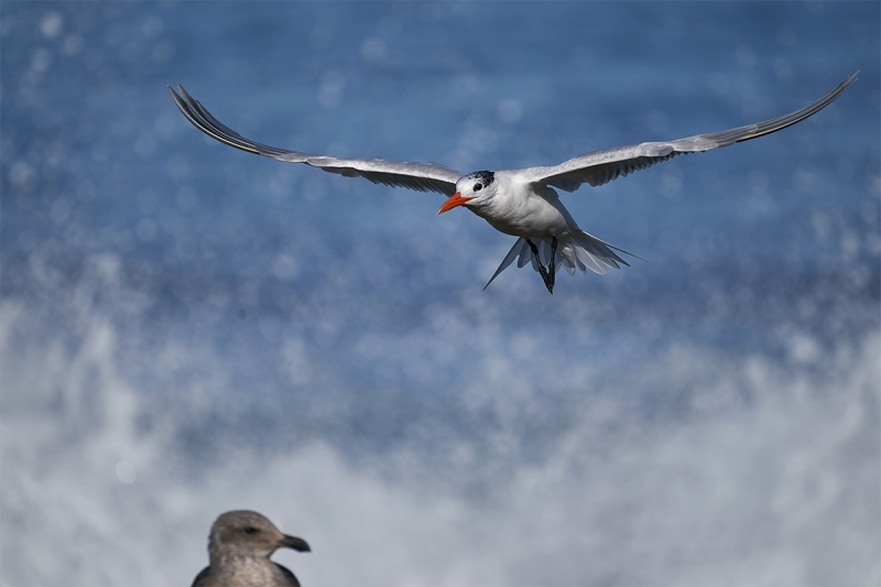 Royal-Tern-landing-with-imm-Western-Gull-watching-_DSC4532-San-Diego-CA-1