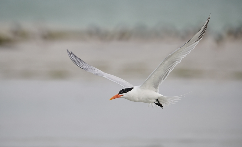 Royal-Tern-wings-up-flight-_BUP3099--Fort-DeSoto-Park,-Tierra-Verde-FL-1