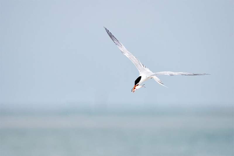 Royal-Tern-with-fish-for-mate-_BUP3133-Fort-DeSoto-Park-Tierra-Verde-FL-1