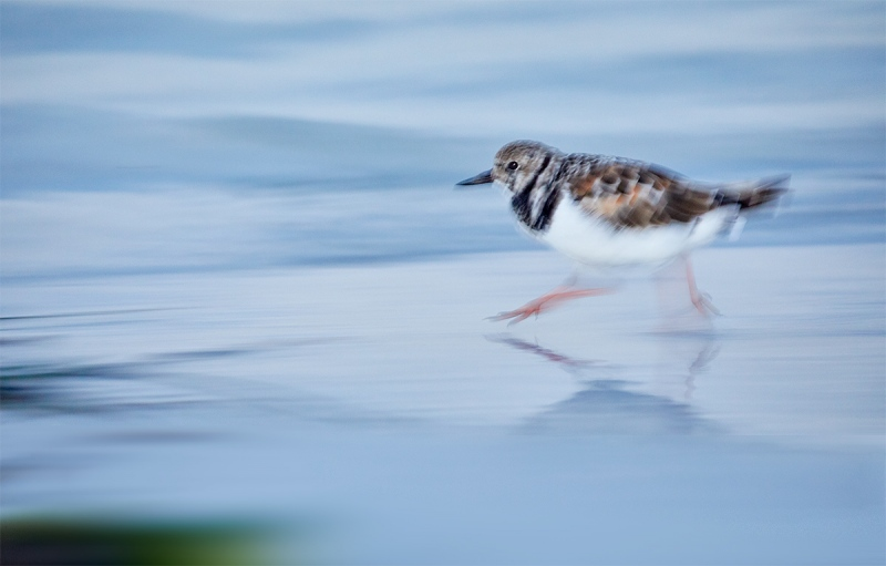 Ruddy-Turnstone-running-blur-_28A2300-Fort-DeSoto-County-Park-FL-1
