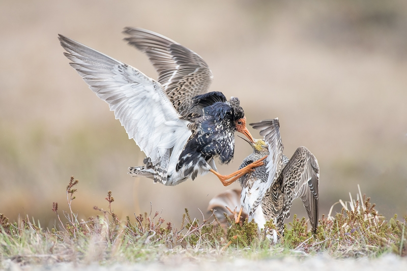 Ruff,-males-battling-ANITA-NORTH-photo-_DSC8678-Kaamena-Findland