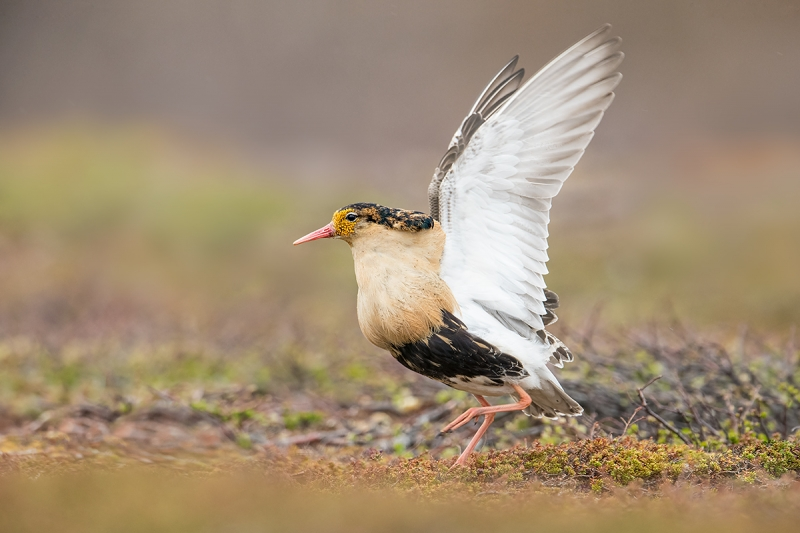 Ruff-with-wings-raised-&-clean-up-_MAI2073-Komagvaer-Valley,-Norway