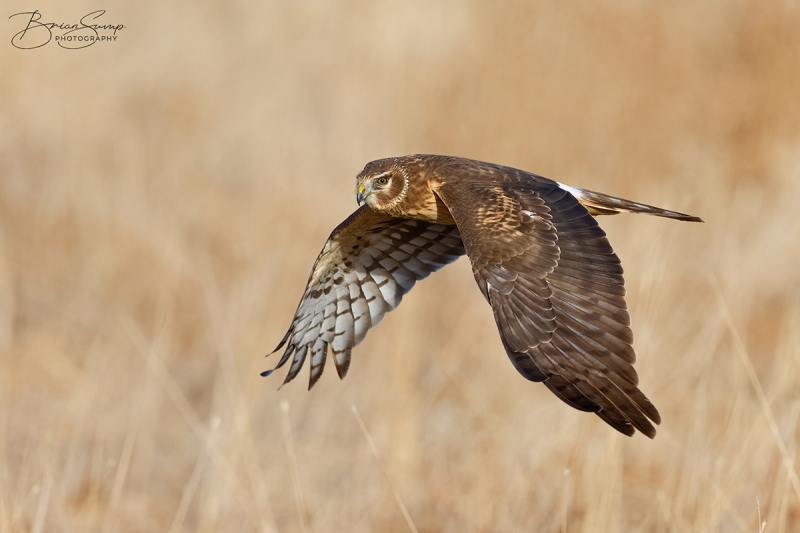 SUMP-blog-harrier-Northern-Harrier-female-wingsdown-field-1-Brian-Sump-BMS_5544-SIG-SS58-brushirish