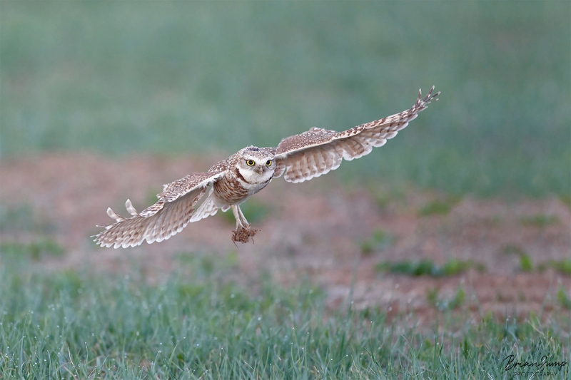 SUMP-blog-sigma-Burrowing-owl-flare-1-Brian-Sump-1800-SIG-FORUM-3-sharpenlarge-after