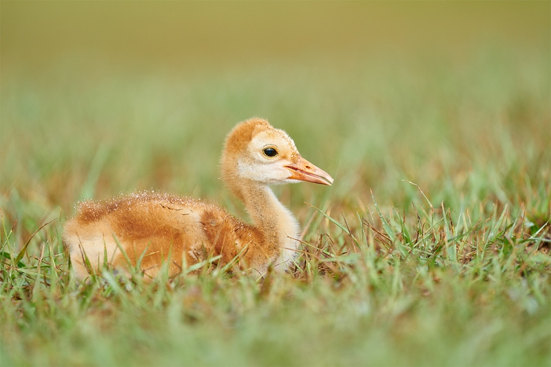 Saandhill-Crane-2-week-old-chick-resting-_A927982-Indian-Lake-Estates-FL-1