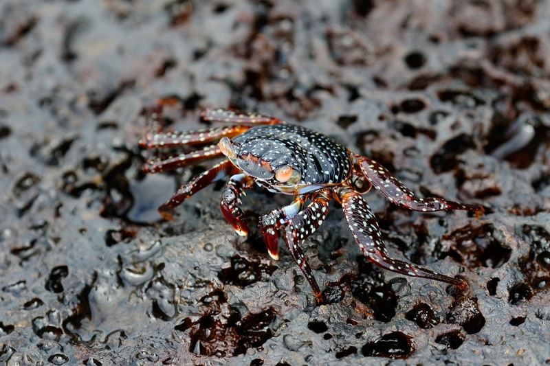 Sally-Lightfoot-Crab-immature-stage-_Y8A0977-North-Seymour-Island,-Galapagos,-Ecuador