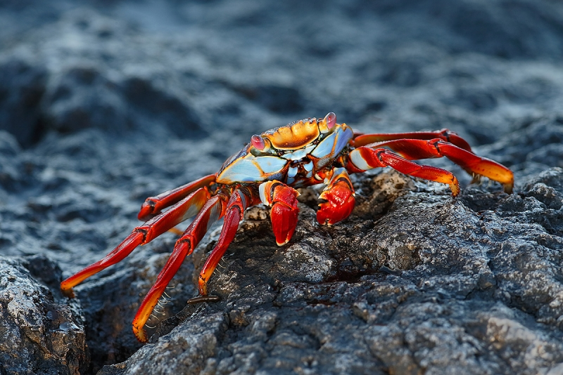 Sally-Lightfoot-Crab-on-lava-rock-_09U2482--South-Plaza-Island,-Galapagos