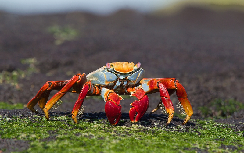 Sally-Lightfoot-Crab-on-seaweed-_Y9C7919--Punta-Espinoza,-Fernandina,-Galapagos