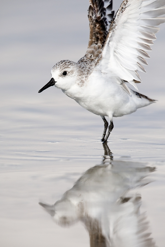 Sanderling-winter-plumage-double-overhead-wingstretch-_28A2121--Fort-DeSoto-County-Park,-FL