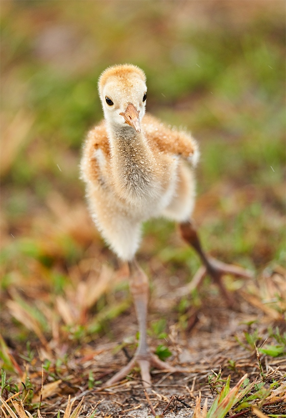 Sandhill-Crane-1-week-old-chick-stretching-_7R40942-Indian-Lake-Estates-FL-1