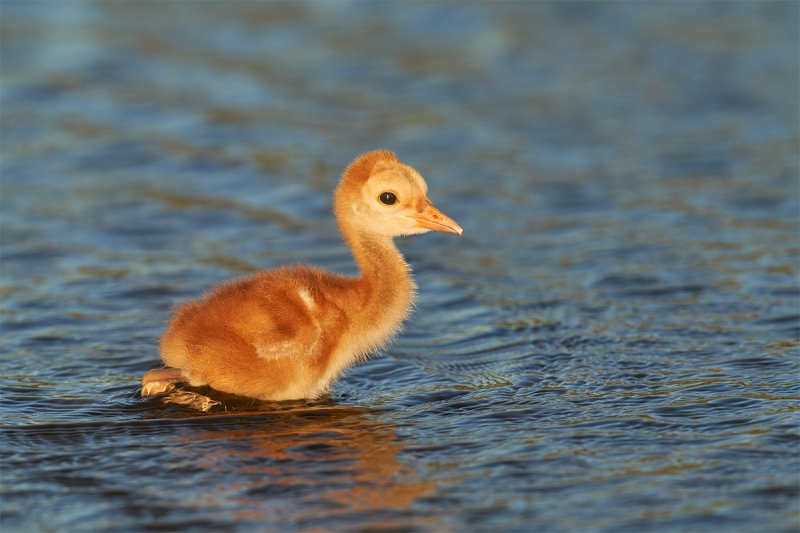 Sandhill-Crane-2-3-day-old-chick-wading-_7R40249-Indian-Lake-Estates-FL-1