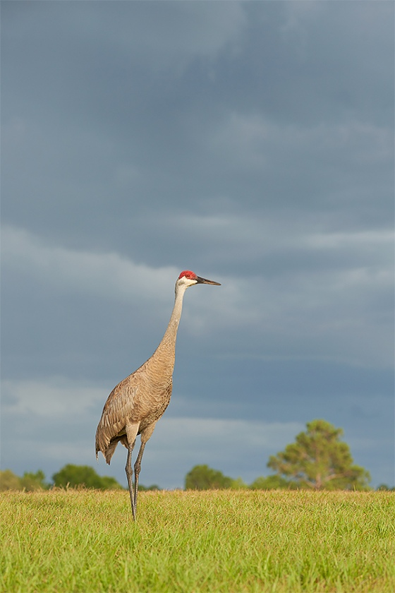 Sandhill-Crane-afternoon-storm-clouds-A-_7R41360-Indian-Lake-Estates-FL-1