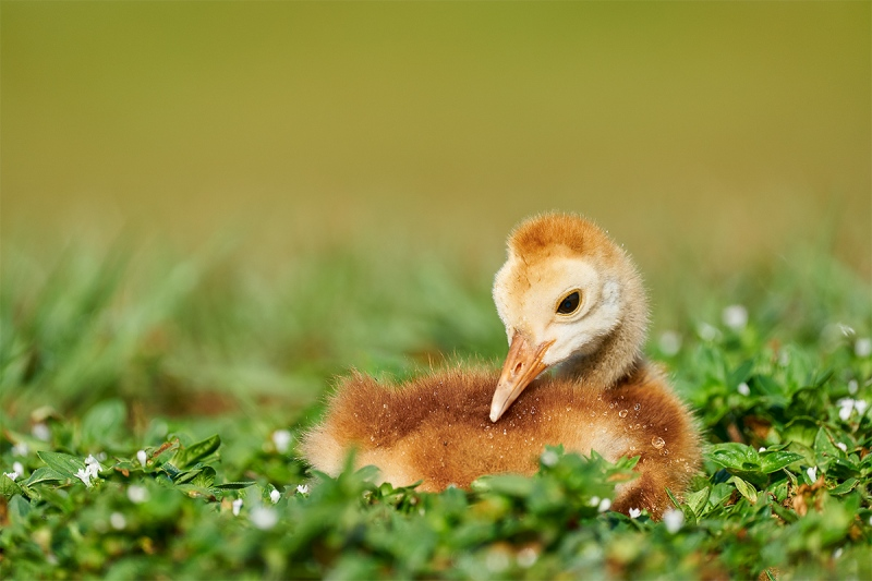 Sandhill-Crane-chick-1-week-old-resting-_A928007-Indian-Lake-Estates-FL-1
