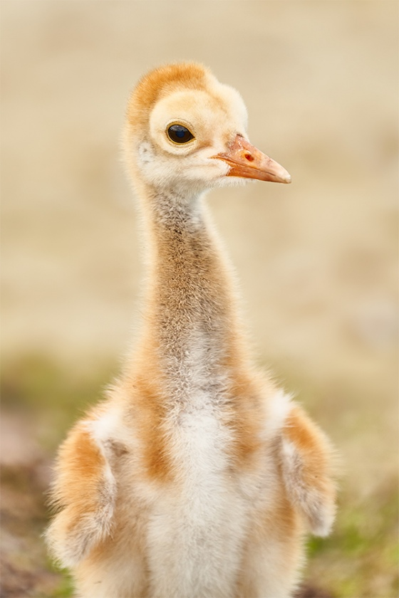 Sandhill-Crane-chick-facing-3-4-days-old-_7R40744-Indian-Lake-Estates-FL-1