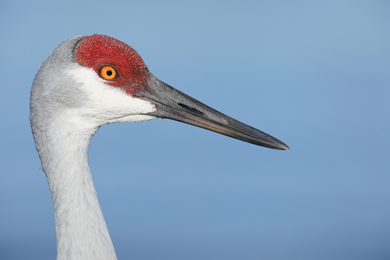 Sandhill-Crane-head-portrait-_W5A4872--Indian-Lake-Estates,-FL