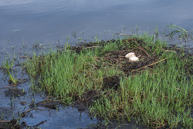 Sandhill-Crane-new-nest-with-two-eggs-_BUP0687-Indian-Lake-Estates,-FL
