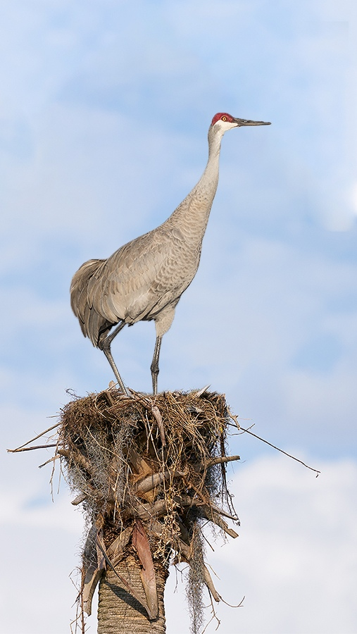 Sandhill-Crane-on-nest-_A9B8037-Indian-Lake-Estates-FL-1