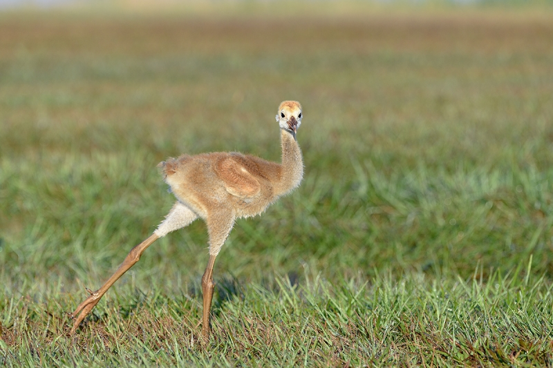 Sandhill-Crane-small-colt-stretching-_DSC0439--Indian-Lake-Esates,-FL
