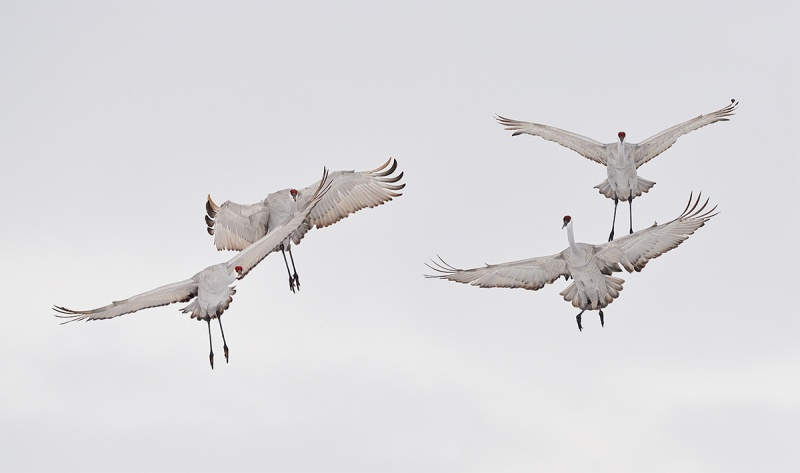 Sandhill-Cranes-a-need-air-traffic-control-_7R43692-Bosque-del-Apache-NWR-San-Antonio-NM-1