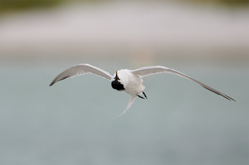 Sandwich-Tern-shaking-off-water-in-flight-after-bath-_BUP3204--Fort-DeSoto-Park,-Tierra-Verde-FL-1
