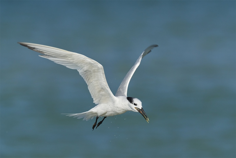 Sandwich-Tern-swallowing-fish-_DSC3657-Fort-DeSoto-Park-Pinellas-County-FL-1
