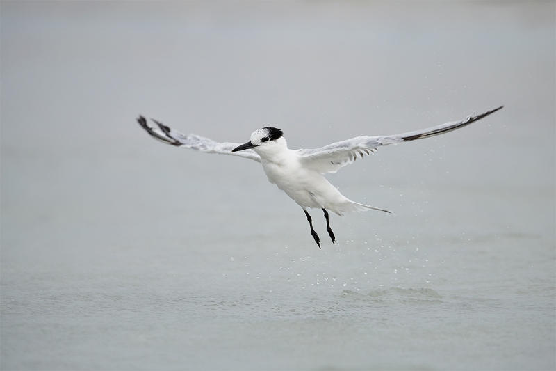 Sandwich-Tern-taking-off-after-bath-_BUP3076--Fort-DeSoto-Park,-Tierra-Verde-FL-1