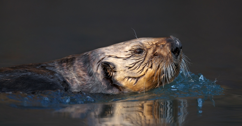 Sea-Otter-face-portrait-swimming-PANO-CROP-_W3C1023-Homer-AK