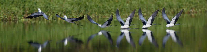 Shallow-tailed-kite-drinking-sequence-II_A3I1228--Lake-Woodruff,-DeLand,-FL,-USA