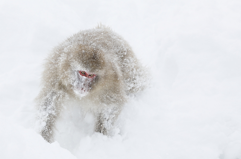 Snow-Monkey-with-snow-mask-_P3A5341-Jigokudani,-Japan