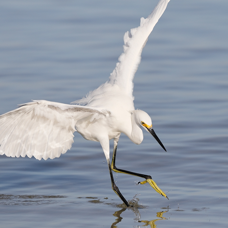 Snowy-Egret-hunting-dance-_W5A8686--Fort-DeSoto-Park,-Pinellas-County,-FL