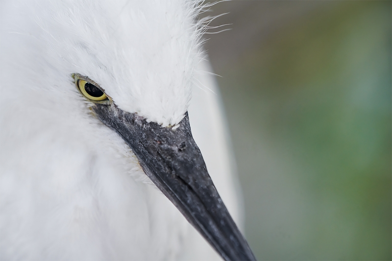 Snowy-Egret-large-chick-tight-face-_A7R1701--Gatorland-Kissimmee-FL-1