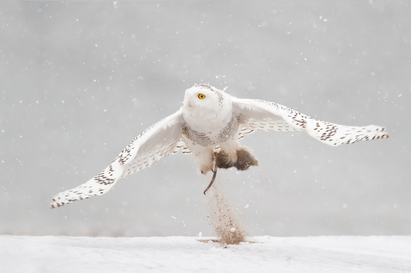 Snowy-Owl-takeoff-for-web
