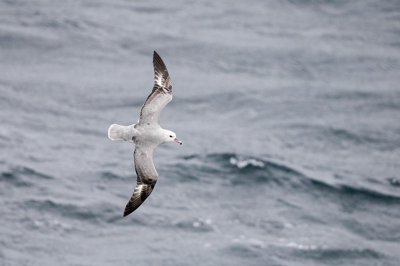 Southern-Fulmar-light-phase-in-flight-_MAI3480--Drake-Passage,-Southern-Ocean