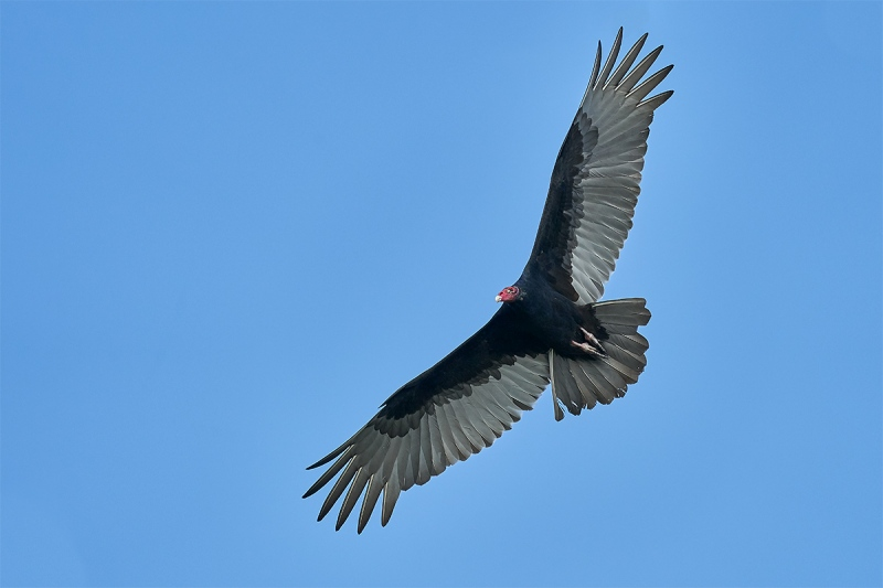 Turkey-Vulture-ISO-3200-_DSC7028-Indian-Lake-Estates-FL-1