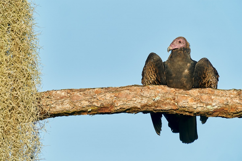 Turkey-Vulture-juvenile-on-branch-with-moss-_A9B5954-Indian-Lake-Estates-FL-1
