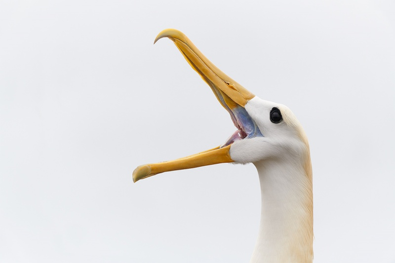 Waved-Albatross-clunking-during-display-_A7R2992-Punta-Suarez-Espanola-Hood-Island-Galapagos-1