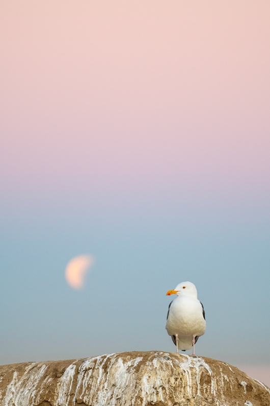 Western-Gull-A-and-setting-full-moon-in-pink-purple-blue-pre-dawn-sky-_DSC4303--La-Jolla,-CA