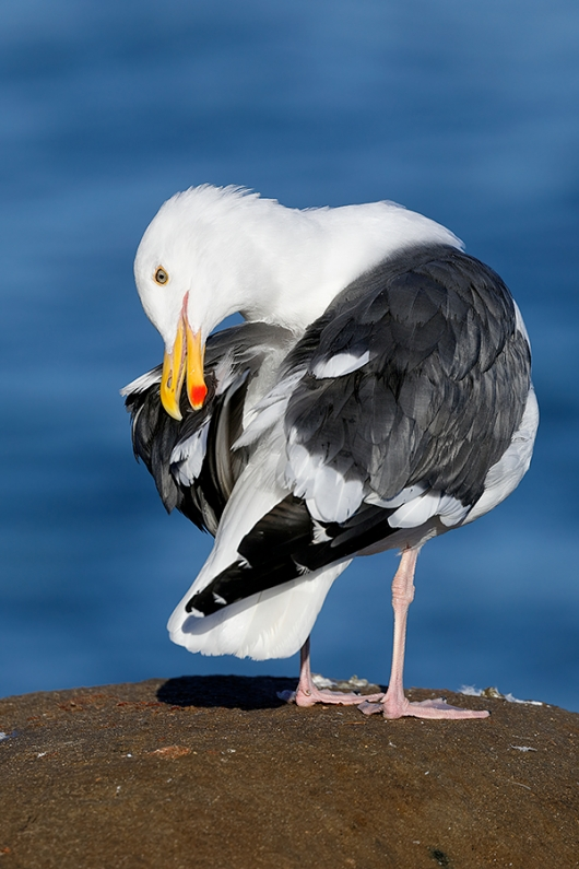 Western-Gull-preening-(from-behind)-cold-light_P3A1214-La-Jolla,-CA