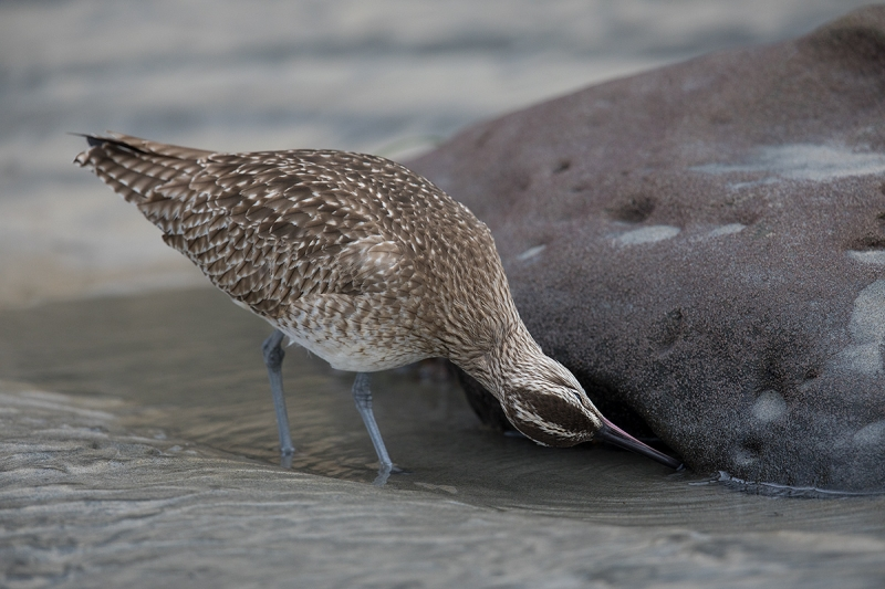 Whimbrel-foraging-_W5A4198-La-Shores-Beach,-CA
