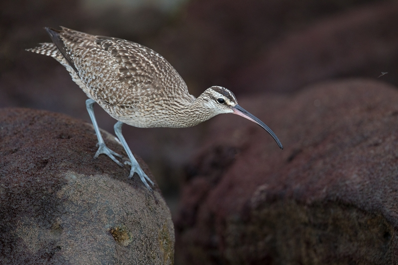 Whimbrel-looking-for-prey-items-_W5A4249-La-Shores-Beach,-CA