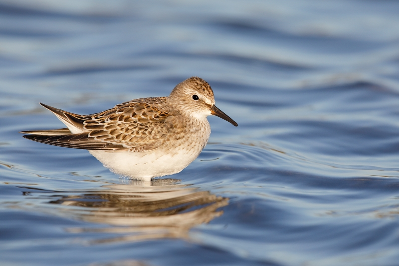 White-rumped-Sandpiper-juvenile-_W5A7178--East-Pond,-JBWR,-Queens,-NY