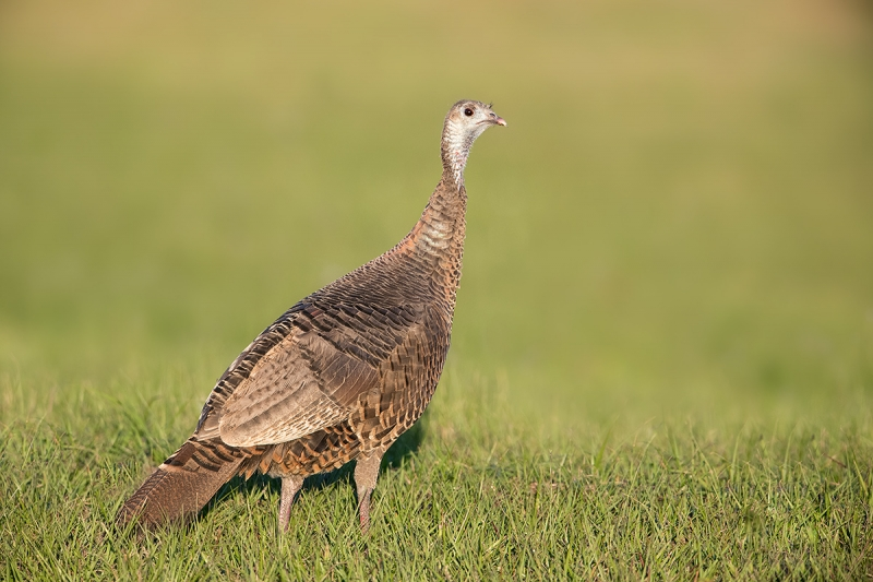 Wild-Turkey-hen-_DSC3051--Indian-Lake-Esates,-FL