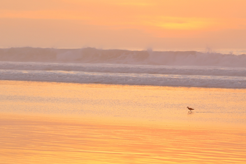Willet-at-sunset-_P3A0539--La-Jolla-Shores-Beach,-CA