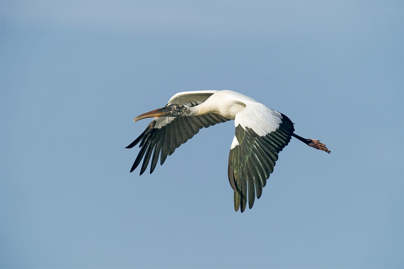 Wood-Stork-in-flight-down-stroke-_A920762-Sebastian-Inlet-FL-1