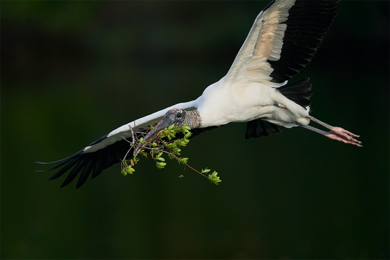 Wood-Stork-with-nesting-material-_A926602-Brandon-FL-1